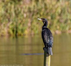 9Q6A8918 (2) (Alinbidford) Tags: alinbidford alancurtis brandonmarsh greyheron heron littlegrebe pochard blackheadedgull muteswan cormorant