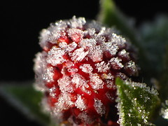Frosty Wild Strawberry Macro (thatSandygirl) Tags: november fall autumn mountvernon ohio frost frozen outdoor ice crystals fruit wildstrawberry strawberry green red white cold berry garden edible plant