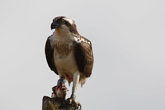 _H2A2656.jpg (AMPMartins) Tags: aves avesportugal águiapesqueira
