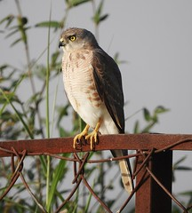 Bird of Prey (balharsh) Tags: shikra india chhattisgarh birdofprey birds biodiversity wild littlebandedgoshawk