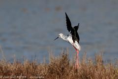 _MG_8641 LR flickr.jpg (Jean Louis BOUYER photographie) Tags: oiseaux échasse blanche échasseblanche
