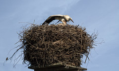 the sub-tenant (schwarzeWitwe2) Tags: storch stork