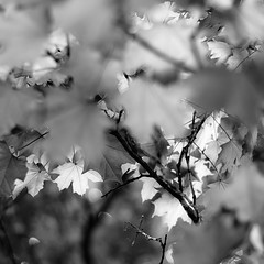 Up Through Trees 030 (noahbw) Tags: d5000 dof nikon abstract blackwhite blackandwhite blur bokeh branches bw depthoffield forest leaves light monochrome natural noahbw shadow square trees woods