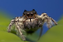 Male Phidippus Putnami Jumping Spider (Douglas Heusser) Tags: male phidippus putnami jumping spider arachnid canon macro photography nature wildlife up close heusser photo