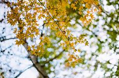 ( ()) Tags: rossmann 200 rossmann200 pentax m42 spf  film  supertakumar55mmf18 takumar 55mm f18 55 18 bokeh filmphotography  japan maple