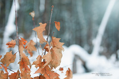Autumn's Last Stand (Thousand Word Images by Dustin Abbott) Tags: bokeh flare lens dustinabbottnet leaf winter adobelightroomcc 2016 autumn adobephotoshopcc snow thousandwordimages pembroke alienskinexposurex2 sigma85mmf14dghsmart review photography fullframe petawawa canoneos5dmarkiv comparison ontario canada test canon5d4 oak photodujour dustinabbott ca
