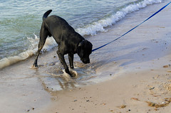 Looking for the treasure (F719D) Tags: beach dog sea seaside sand water digging pet fun joy leash streetphotography waves