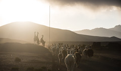 Chile (David Ducoin) Tags: america arica atacama chile desert fight herd landscape latinamerica llama male nature northatacama northchile nuptial shadow southamerica aricaparinacota cl