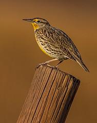 Western Meadowlark (Eric Gofreed) Tags: grandtetonsnationalpark meadowlark westernmeadowlark wyoming