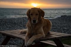 Waiting (Flemming Andersen) Tags: dumle sunset nature golden dog beach outdoor efterår fall hund animal hurupthy northdenmarkregion denmark dk