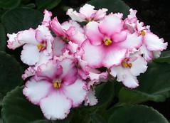 01-IMG_4706 (hemingwayfoto) Tags: berggartenhannover blhen blte blume flora floristik natur topfpflanze usambara usambaraveilchensaturn veilchen zierpflanze zuchtform