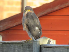 Sparrowhawk... (Marie on Flickr) Tags: sparrowhark bird eyes yellow fence garden window through