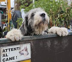 Really? (Robyn Hooz) Tags: dog attentialcane beware paura no fear sweet affacciato leaning