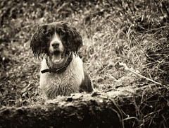 Mollie egar to go again on the call (Missy Jussy) Tags: englishspringer spaniel springerspaniel dog animal pet mono monochrome mollie blackwhite blackandwhite bw portrait dogportrait dogwalk autumn leaves logs woodland canon cannon600d canon70200mm littledoglaughednoiret