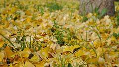 Falling (VincenzoGhezzi) Tags: falling autumn colors wallpaper rimini italy nature ngc