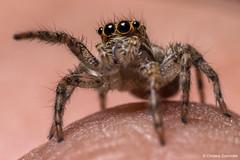 Plexippus paykulli (Audouin, 1826) (Christos Zoumides) Tags: macro spider jumping cyprus jumpingspider arthropods arthropoda arthropod plexippus salticidae paykulli