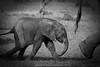 Following in the Footsteps (markrellison) Tags: africa blackandwhite baby elephant monochrome mammal kenya wildlife footsteps f71 following lightroom masaimara wildanimals eastafrica 420mm iso640 11250sec lrcc ef300mmf28lisusm14x canoneos5dmarkiii lightroomcc