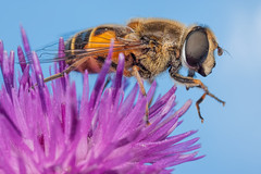 Drone Fly (Hoverfly) on a Knapweed Flower (steb1) Tags: macro insect fly hoverfly canonmpe65mm syrphidae diptera 2015 dronefly pollinator syrphid whixallmoss eristalistenax concavediffuser yongnuoyn14ex