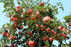 Apple Picking (wallyg) Tags: tree pennsylvania farm apples applepicking buckscounty appletree morrisville yardley galaapple galaapples shadybrookfarm