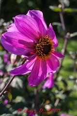 Dahlia (Guy_D_2010) Tags: flower flor blomma quintaflower  blume fiore blomst virg bloem lill blm kwiat  kukka d90   cvijet  blth chaumontsurloire languageofflowers  esenciadelanaturaleza
