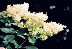 Nach den Frauen.... (SpitMcGee) Tags: flower germany women blumen explore 180 nrw hydrangeas frauen hilden hortensien spitmcgee gardenfrompeterjanke