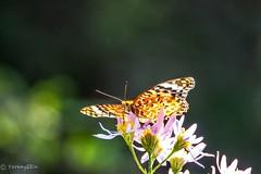 Indian fritillary (Yorkey&Rin) Tags: autumn japan butterfly tokyo october olympus 秋 rin 10月 昭和記念公園 2015 蝶 東京都 showakinenkouen em5 indianfritillary シオン ツマグロヒョウモン olympusm75300mmf4867ii pc237805