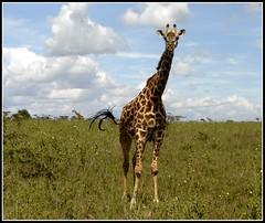 g_AK38935b (KrisFricke) Tags: kenya nairobi safari giraffe nairobinationalpark
