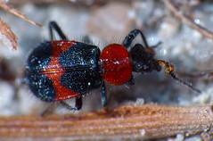 Melyrid beetle Dicranolaius species (Simon Grove (TMAG)) Tags: australia tasmania coleoptera insecta flindersisland tasmanianmuseumandartgallery melyridae dicranolaius bushblitz february2014 tmagzoology