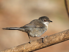 Sardinian Warbler ( Sylvia melanocephala) (diegocon1964) Tags: españa sevilla loradelrío sylviamelanocephala sardinianwarbler currucacabecinegra