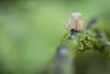 Ameles (miguelangelortega) Tags: macro animal mantis insect nikon branch rama insecto profundidaddecampo airelibre macrofotografía sigma105mm ameles ltytr1 mántidos