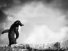 Penguin on the prowl (J.T. Lindroos) Tags: lumix zoo penguin louisville louisvillezoo panasoniclumix fz70 dmcfz70
