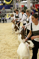 RAWF15 JSteadman 0127 (RoyalPhotographyTeam) Tags: sun royal goat 2015 rawf nov08
