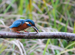 Kingfisher Male (Alcedo atthis) 0231