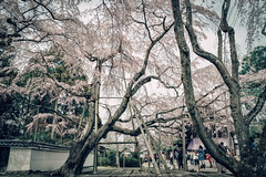 Japan Kyoto . . Skura in Daigo-ji  .   DSC_7868-2 (Ming - chun ( very busy )) Tags: travel flower tree japan cherry nikon kyoto blossom 28mm   cherryblossom  sakura nikkor f18   d800  28mmf18          traveljapan     sukura      f1828mm