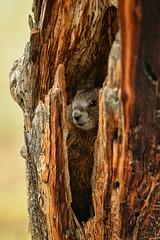 Baby Marmot in a Tree Trunk (Jeff Clow) Tags: wild usa baby nature wildlife small tiny wyoming grandtetonnationalpark jacksonholewyoming tiy1r