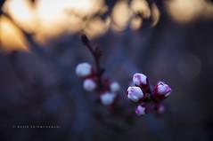 sunset (naser.shirmohamadi) Tags: sunset sky flower nature blossom bloom naser   shirmohamadi