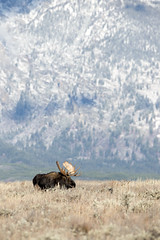 Bull moose on antelope flats (Deby Dixon) Tags: fall nature outdoors moose bullmoose tetonmountains antelopeflats