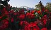Red Flowers 2 (phillipdumoulin) Tags: flowers trees red plants gardens sydney australia growth nsw operahouse harbourbridge sydneyharbour cultivation sydneybotanicalgardens redflowers