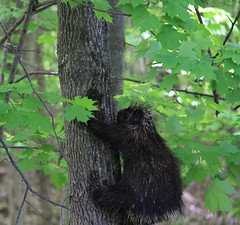 Stay away from those quills ! (SamSpade...) Tags: lake maples porcupine quills 578 5728 150517