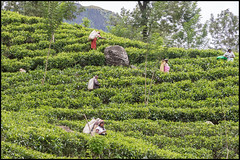 Tea Plantation, Nuwara Eliya. (John R Chandler) Tags: srilanka nuwaraeliya teapicking