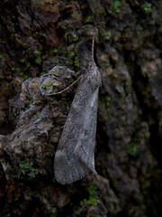 Fall Cankerworm Moth (Dendroica cerulea) Tags: winter moss newjersey moth nj insects lepidoptera bark geometridae lichen highlandpark arthropoda arthropod insecta hexapoda middlesexcounty alsophila fallcankerwormmoth alsophilapometaria alsophilinae geometroidea highlandparkmeadows