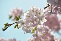 Cherrytree (eva vee) Tags: pink plant flower tree nature cherry spring flora nikon blossom pastel natur explore bloom sakura cherrytree blüten kirschblüte d5000 platinumheartaward