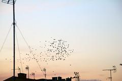birds (Maria Gomez C.) Tags: city sky bird village flock cel ciel cielo pajaro ville oiseaux ocell troupeau bandada