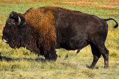 Old bull (Mark F Dyer) Tags: animals southdakota buffalo custerstatepark