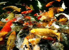 Tirta Empul Water Temple Bali (mankybackhome) Tags: tirta empul water temple bali koi carp polarized