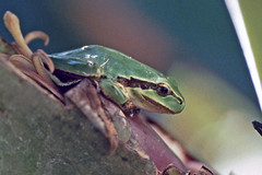 """Valle Gran Rey - Fruchtgarten """"Aragata"""" - Mittelmeer-Laubfrosch (astroaxel) Tags: spanien kanarische inseln la gomera valle gran rey fruchtgarten aragata mittelmeer laubfrosch frosch"""