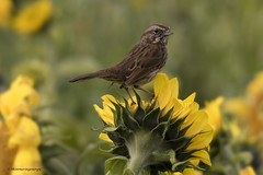 Song Sparrow | Bruant chanteur (shimmeringenergy) Tags: songsparrow bruantchanteur melospizamelodia delta sunflower