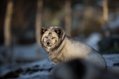 Winter lighting (nemi1968) Tags: bluefox canon canon5dmarkiii ef70200mmf28lisiiusm langedrag markiii norway arctic closeup endangered fox november portrait winterlight specanimal
