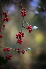 Holly berries, Bookham Common (tonybill) Tags: bookhamcommon nationaltrust nikkor50mmf12ais sonya7ii sunshine surrey