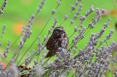 (careth@2012) Tags: sparrow lavender flower nature